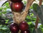 艾斯卡嘉宝果种子,巴西嘉宝果肯布卡四季早生树葡萄