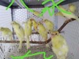 直立黄红眼玉鸟 白直立 黄翻 白翻毛