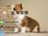 宠物狗纯种柯基犬活泼可爱疫苗驱虫已做齐全包健康签协议