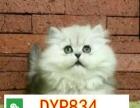 纯种短毛猫渐层 美短 英短 蓝猫出售疫苗全可签协