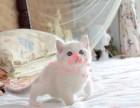 布偶猫多少钱一只 杭州哪里有卖布偶猫 布偶猫图片