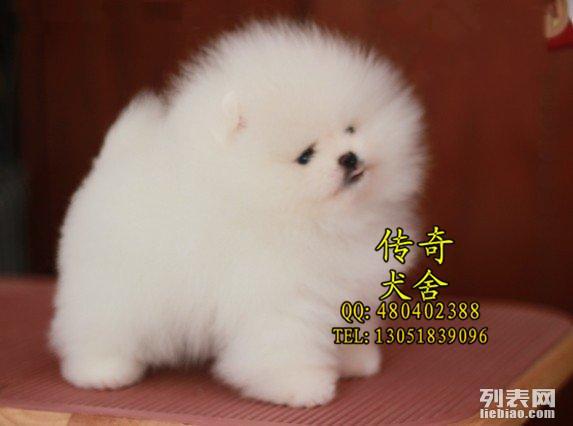 博美犬 北京博美犬舍 哈多利博美 英系超小体博美