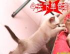 猫舍火爆直销小鲜肉暹罗喵喵找主人纯种健康当天包邮