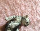CFA纯种美国短毛猫宝宝