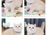 武汉附近猫舍 纯种幼猫可签协议