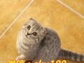 养殖场直销高贵气质折耳猫出售中包纯种保健康包活