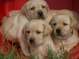 合肥出售纯种健康-拉布拉多幼犬-颜色齐全-公母都有