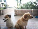 別墅寵物度假寄養訓練 可接送有專用房 環境價格服務有優勢