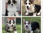 柯基犬价格 柯基犬多少钱 纯种柯基犬多少钱一只