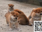 诚信交易 纯种柴犬 健康终身保障 签协议送狗用品