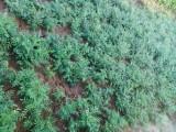 四川道地药材种子种苗出售中药材种植加盟