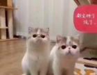 星星猫舍常年出售高品质加菲猫幼猫