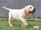 贵阳最大狗场 特价直销世界名犬 拉布拉多犬等品种三百起