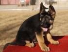 纯种霸气威武德牧幼犬出售 服从性强 品相好品种