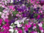 陕西观赏花种植基地