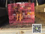高品质马犬 专业基地 健康签协议 可送货上门