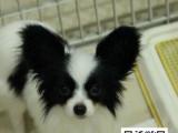 高品质蝴蝶犬 专业基地 健康签协议 可送货上门
