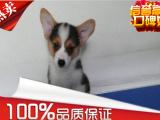 出售纯种 柯基犬 双色三色柯基犬 保证健康
