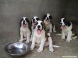 广东肉狗苗多少钱一只圈养肉狗方法