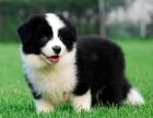 昆明纯种边境牧羊犬价格,昆明哪里能买到纯种边境牧羊犬