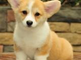 廣州柯基犬價格,廣州哪里有賣柯基犬,柯基犬多少錢一只