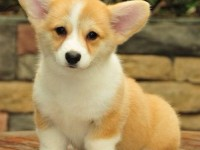 广州柯基犬价格,广州哪里有卖柯基犬,柯基犬多少钱一只