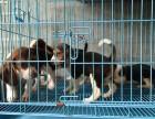 东莞本地狗场直销 纯种比格幼犬 包健康包三个月签协议