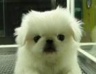 佛山哪里卖京巴狗好佛山哪里有京巴狗买多少钱