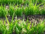 龍飛种业供应纯新中药材射干种子/射干籽回收产品免费指导