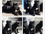 高端品质品质双血统卡斯罗犬 皇家护卫犬 犬舍认证