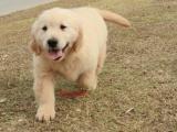 武汉金毛幼犬活体金毛犬活体纯种 大骨量出售黄金血系赛级包健康