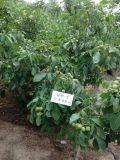 冠核农业是核桃苗木行业的翘楚,公司有2000多亩的育苗基地