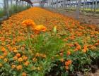 许昌草花系列孔雀草时令花卉孔雀草出售四季草花孔雀草供应