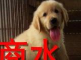 商水本地狗场金毛等几十个狗品种,可视频看狗,送货