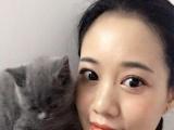 自家繁殖英短蓝猫宠物猫品种猫短毛猫宠物猫