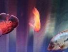 精品血鹦鹉发财鱼财神鹦鹉鱼罗汉鱼便宜出!清缸换鱼!