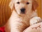 大头金毛犬,品质优良,防疫齐全,血统纯正,价格公道