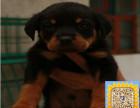 精品纯种罗威纳,优选培育强健幼犬,确保健康