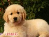 大头赛级金毛犬纯种健康保证品质身体健康有保障