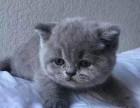 珠海哪里有蓝猫卖 蠢萌型 健康无廯送货上门 支持空运
