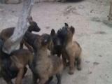 纯种小马犬 价格便宜 马犬多少钱一只 马犬多少钱