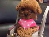 赤峰哪里有泰迪犬出售 纯种小体泰迪犬价格 泰迪幼犬图片价格