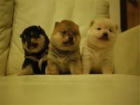 西贝犬舍 出售纯种柴犬 公母多只挑选 可上门挑选 送货上门