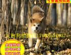 国内较大繁殖基地 出售双血统日系秋田犬 证书齐全