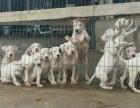 福州肉狗苗价格 改良肉狗多少钱鸿顺犬舍