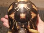 辐射,亚达,陆龟
