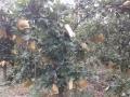 黄龙有8年龄黄梨园25亩低价出售