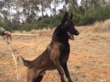 湘潭岳塘繁殖基地出售大中小型宠物犬,正规专业,品种齐全