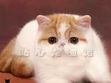 猫舍出售纯血统加菲猫无病无癣保健康可上门看猫