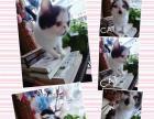 黑白梵文加菲猫转让